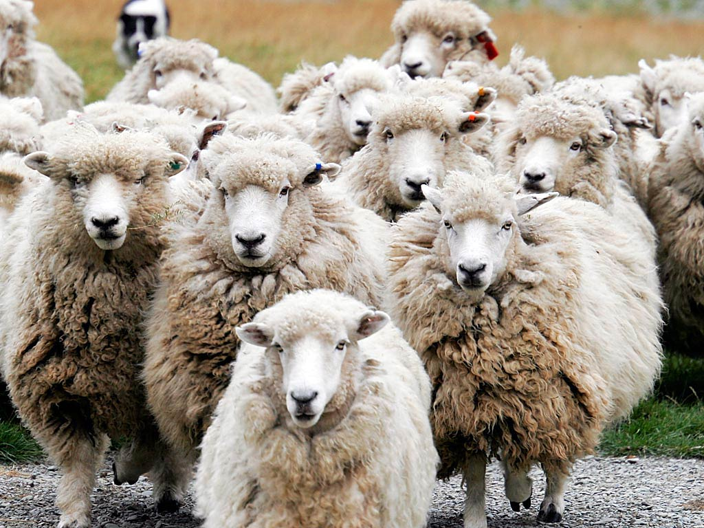 Sheep Without A Shepherd The Publicans